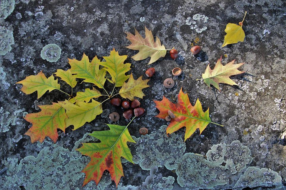 Autumn, Collapse, Foliage, Oak, Acorn, Branch