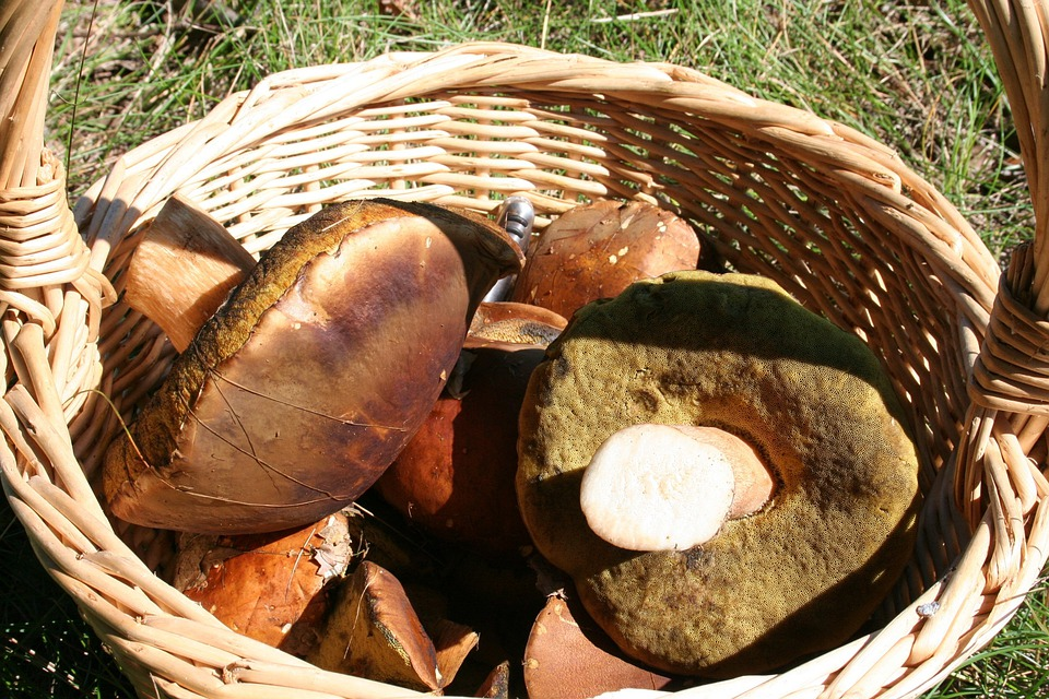 Mushroom, Nature, Autumn, Forest, Cep, Chestnut