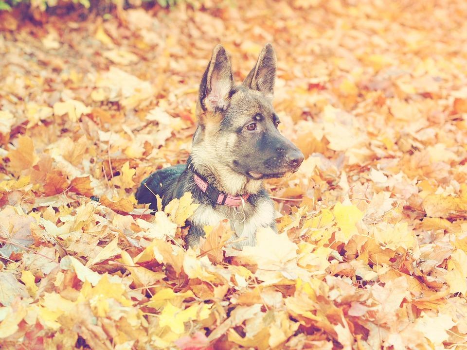 German Shepherd Dog, Autumn, Puppy Dog