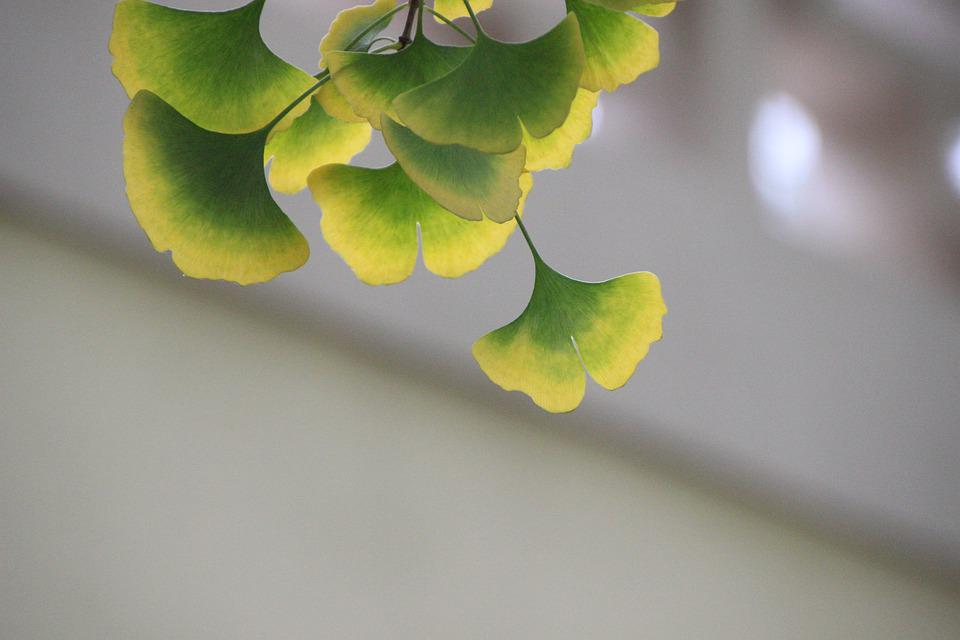 Gingko Leaves, Plant, Autumn, Bicolored Leaf, Branch