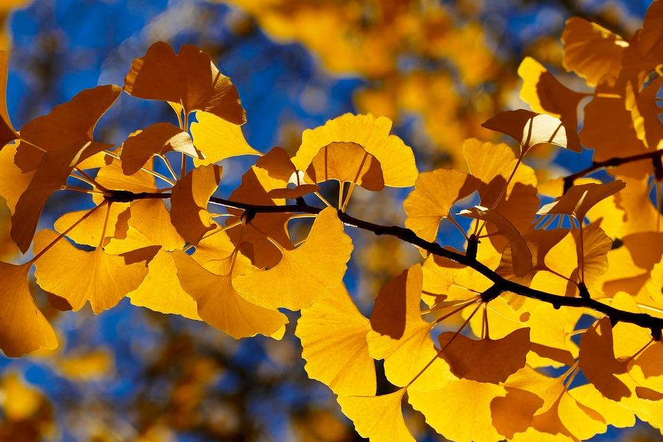 Fall, Leaf, Tree, Season, Nature, Autumn, Ginkgo Tree