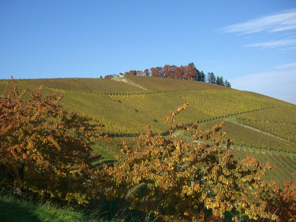 Vineyard, Autumn, Bottenau, Golden October, Oberkirch