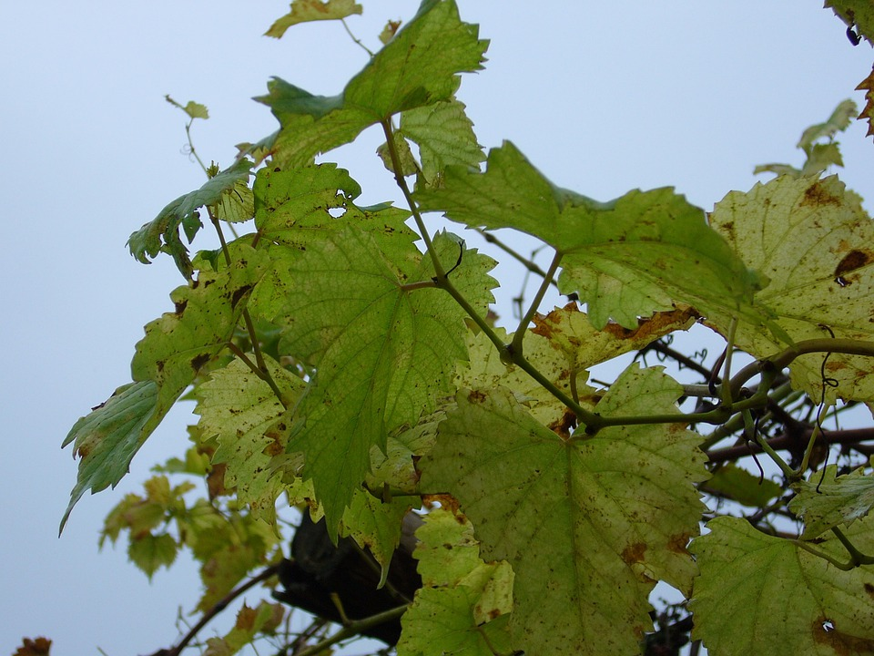 Grape, Foliage, Autumn