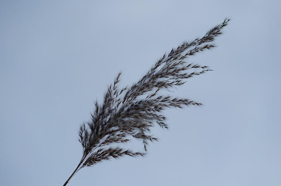 Reed, Nature, Grass, Grasses, Plant, Back Light, Autumn