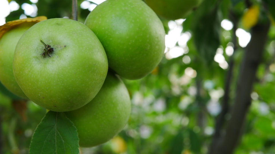 Apple, Tree, Autumn, Summer, Green, Branch, Nature