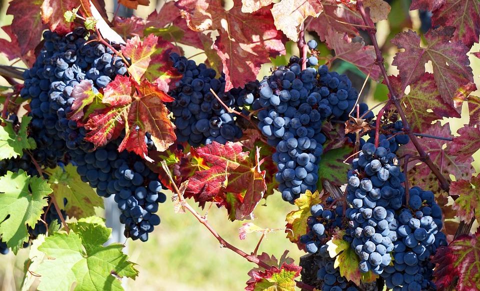 Grapes, Harvest, Wine, Autumn, Vine, Vineyard