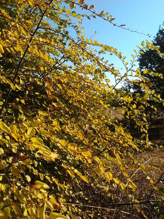 Autumn, Yellow, Judas Tree