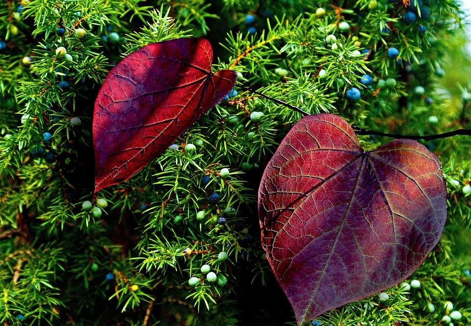 Autumn, Foliage, Colorful, Juniper, Juniper Fruit