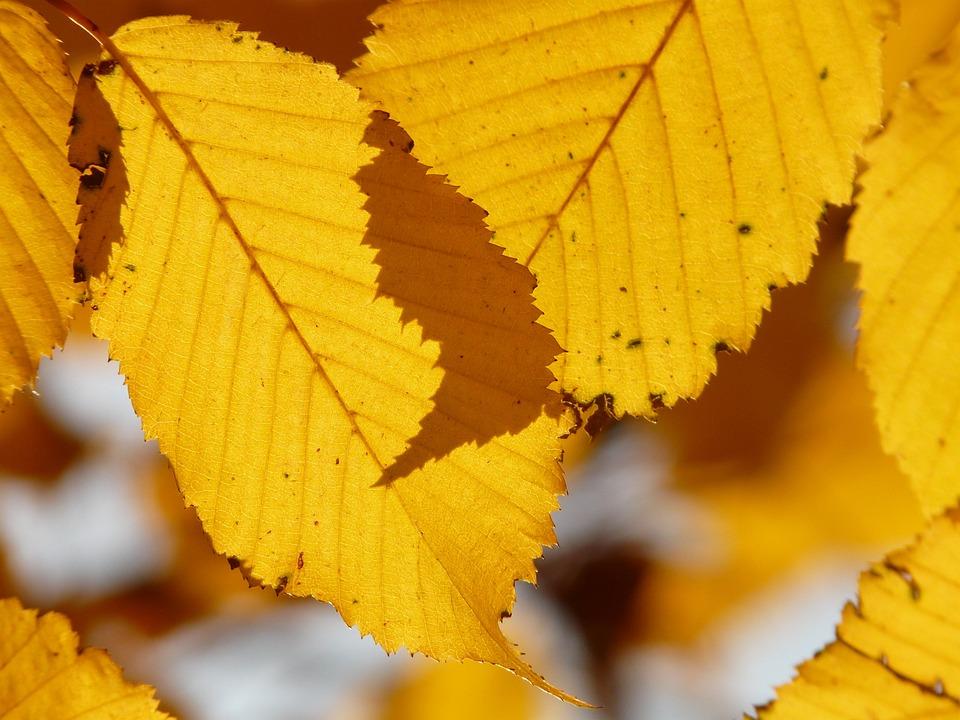 Leaf, Leaves, Autumn, Hornbeam, Carpinus Betulus