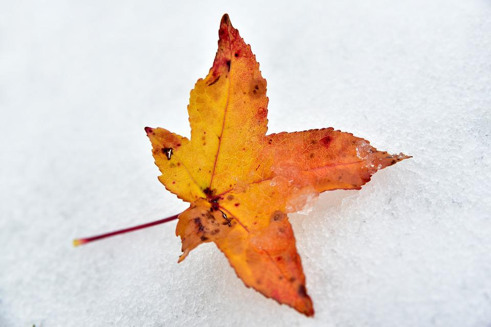 Leaf, Snow, Autumn, Winter, Discoloration, Maple