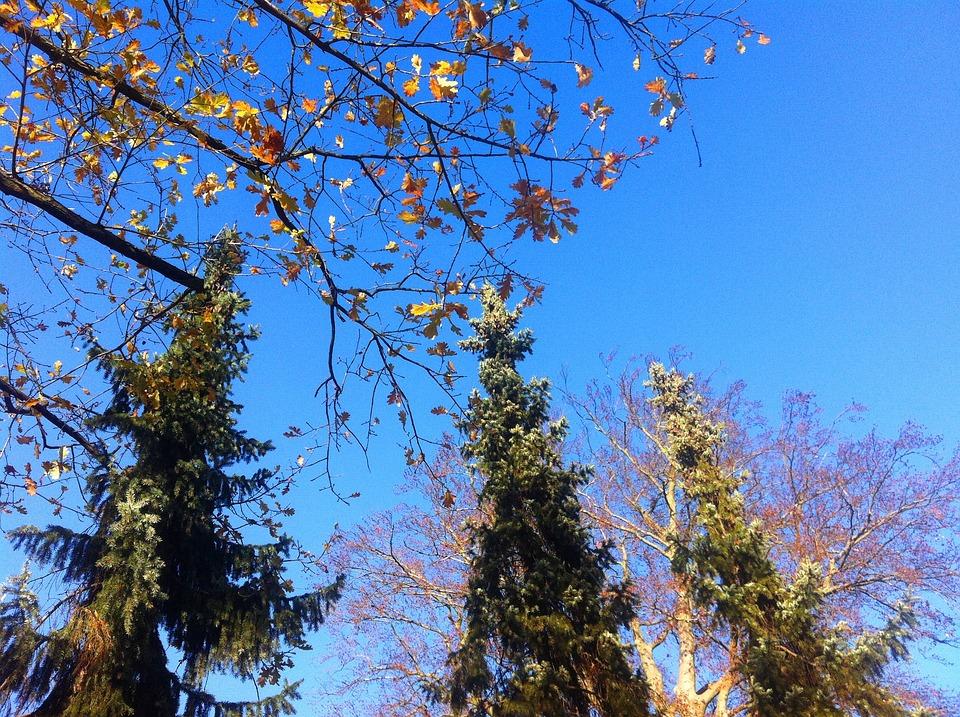 Firs, Autumn, Leaves, Blue Sky, Trinity