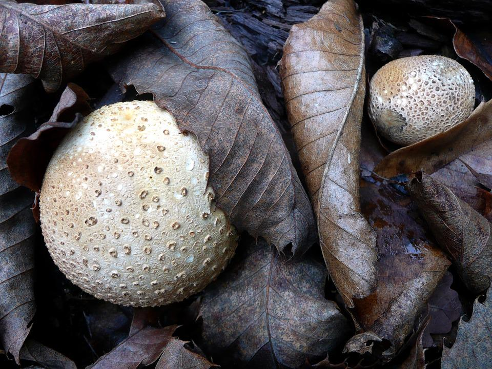 Mushrooms, Bovist, Leaves, Autumn