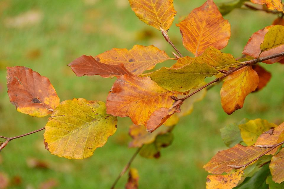 Autumn Leaves, Beech, Fagus, Colorful Leaves