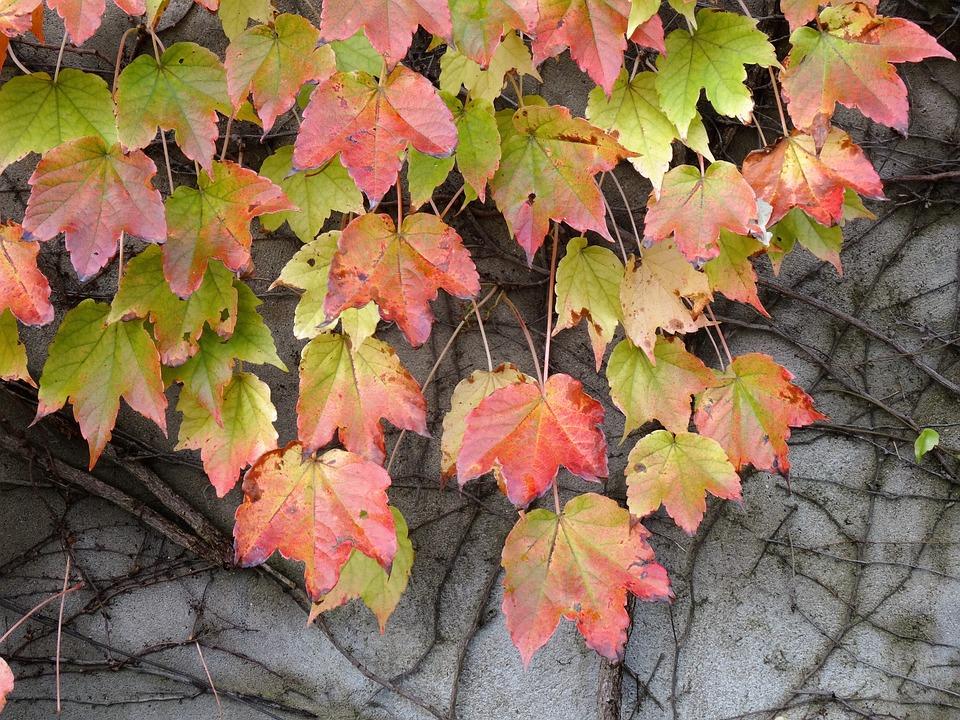 Vine, Vine Leaf, Creeper, Autumn Leaves, Foliage