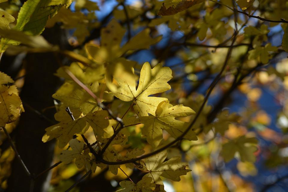 Leaves, Tree, Leaf, Autumn, Colored, Fall Leaves