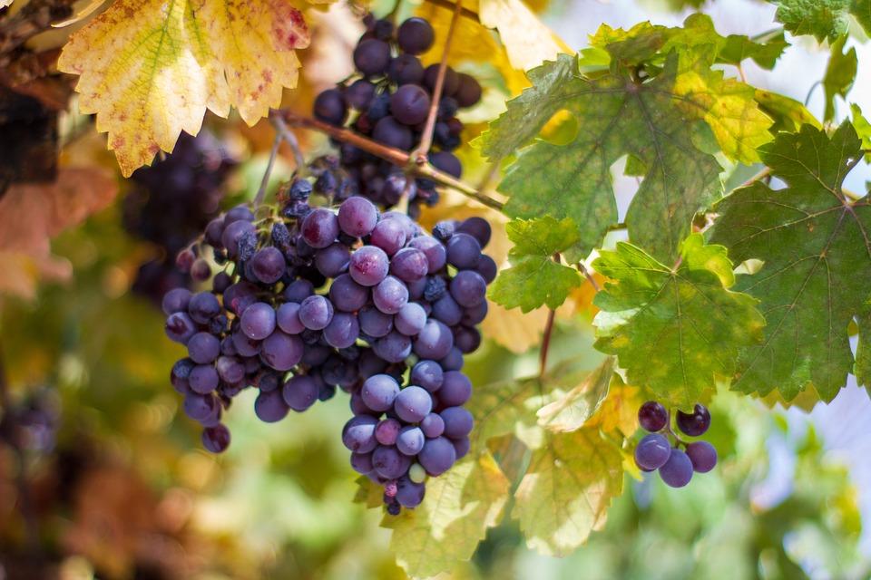 Fruit, Grape, Organic, Nature, Autumn, Leaves