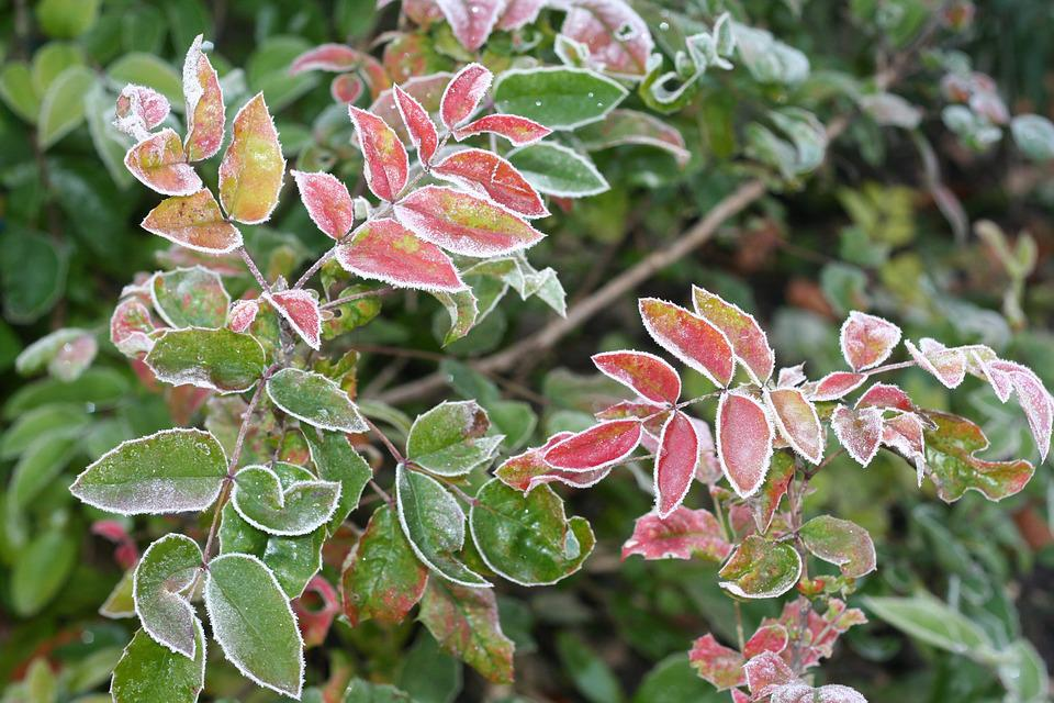 Leaves, Autumn, Colored, Icy, Laurel, Hoarfrost, Frozen