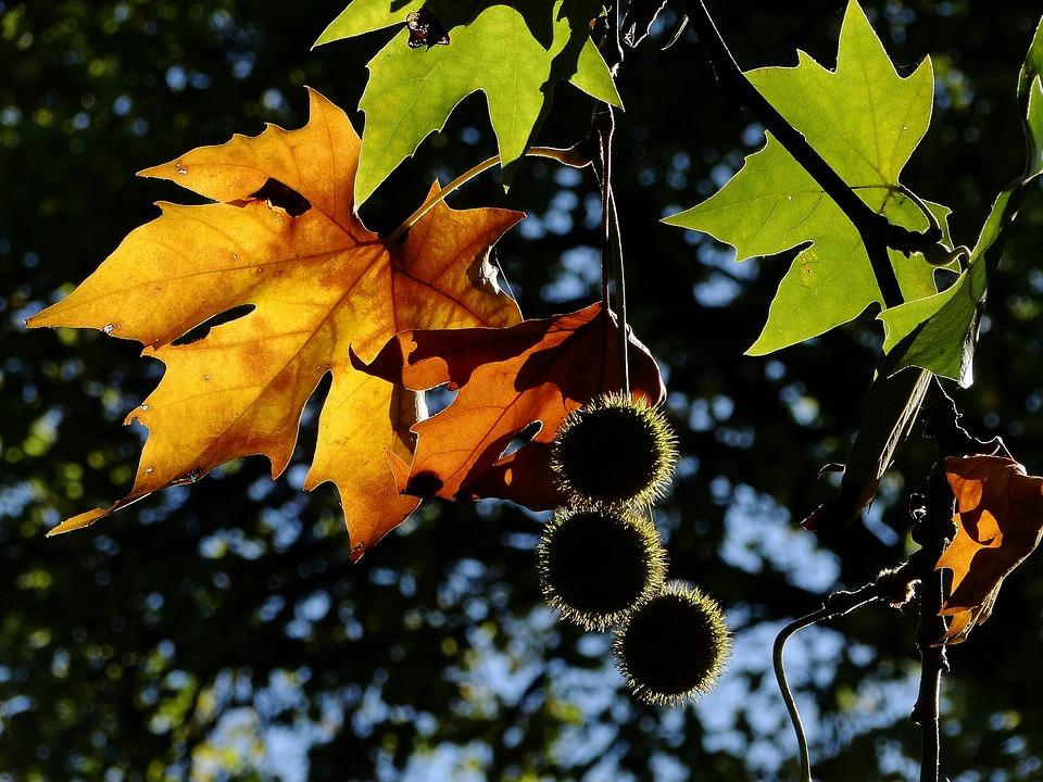 Leaf, Fall, Autumn Leaf, Autumn Leaves, Leaves, Nature