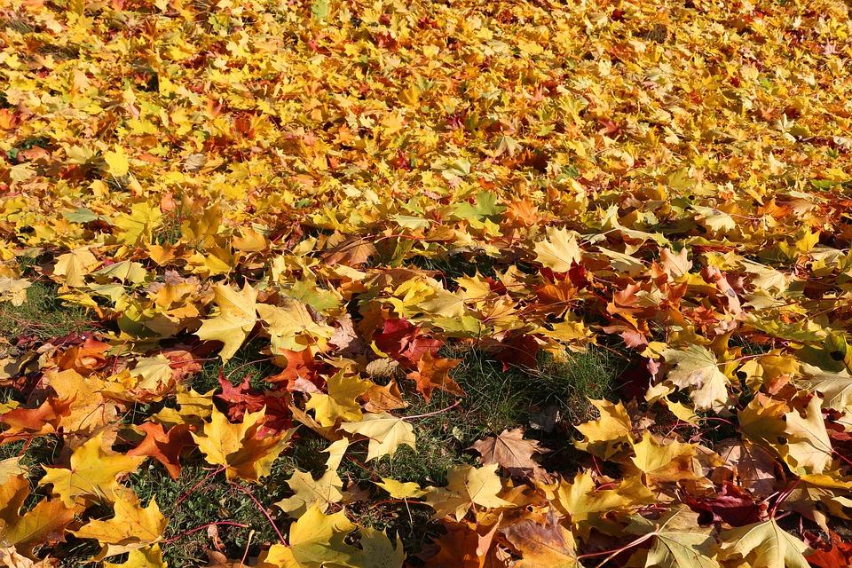 Maple, Autumn Leaves, Sunny