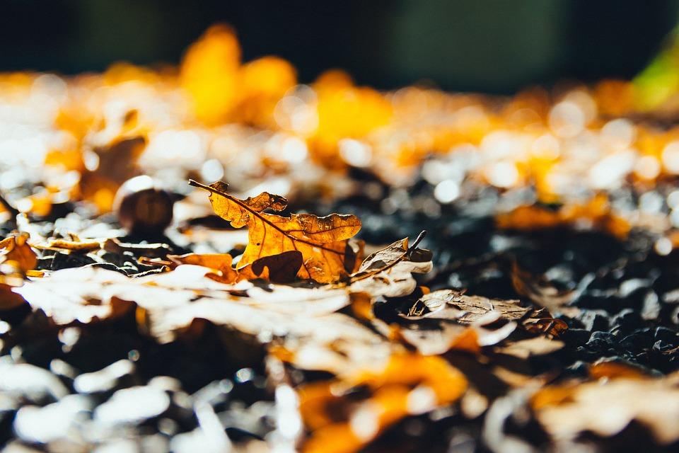 Oak Leaves, Autumn, Leaves, Foliage, Autumn Leaves