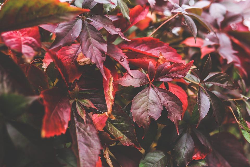 Leaves, Red, Autumn, Leaf, Fall, Big