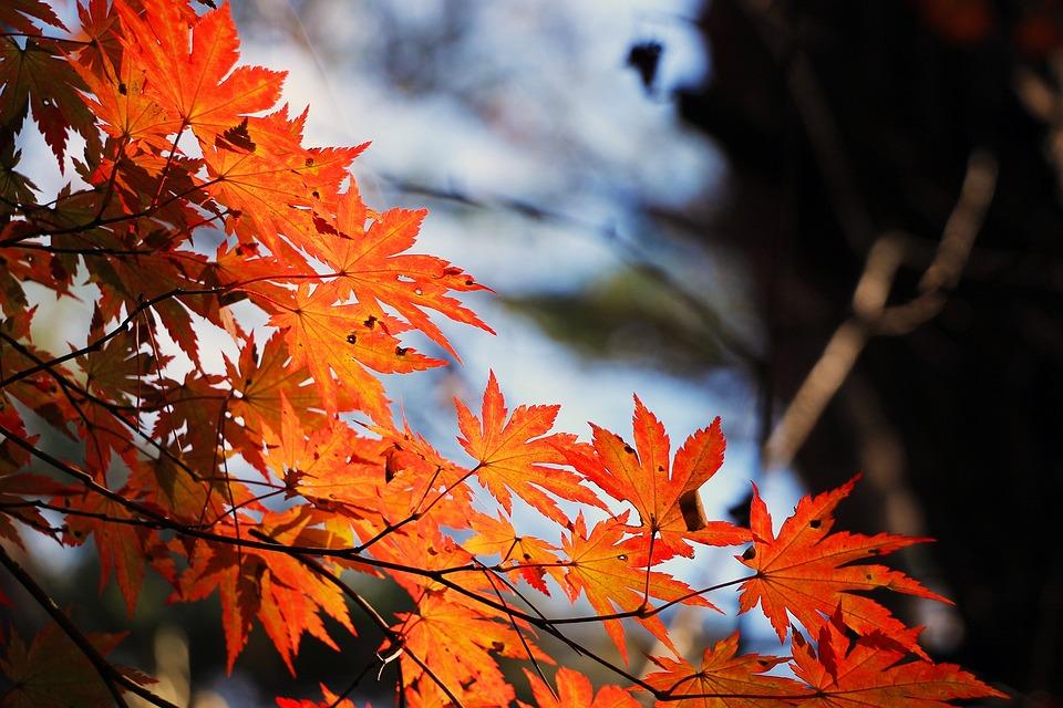 Red Maple Leaf, Autumn, Autumn Leaves, Wood, The Leaves