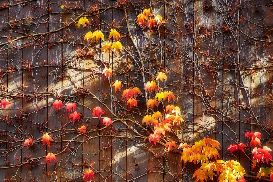 Autumn, Vine Leaves, Leaves, Wooden Wall, Entwine