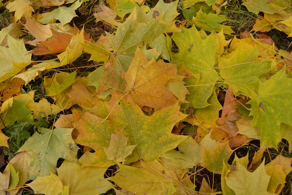 Leaves, Nature, Autumn, Yellow, Plant, Yellow Leaves