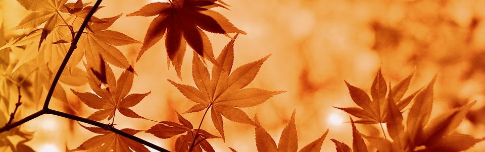 Maple, Autumn, Leaves, Tree, Botany, Plant, Flora