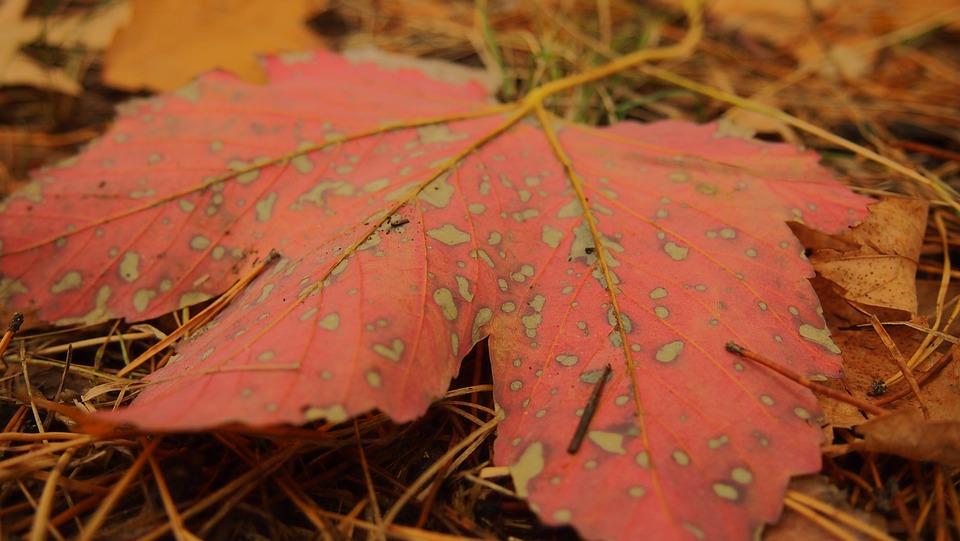 Autumn, Sheet, Maple Leaf, Closeup