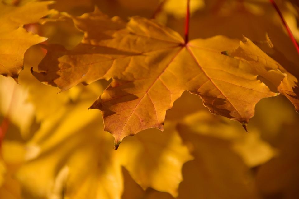 Autumn, Fall Foliage, Yellow, Maple, Maple Leaf, Light