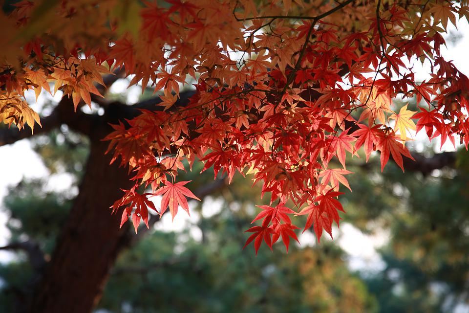 Leaves, Autumn Leaves, Maple Leaf, Tree, Autumn, Nature