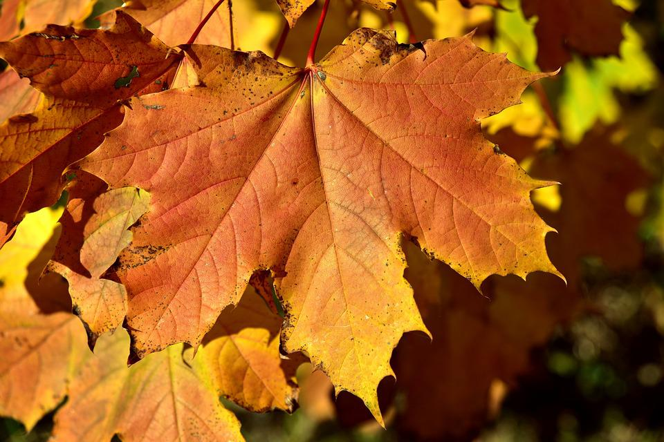 Autumn, Leaves, Maple, Discoloration, Red, Yellow