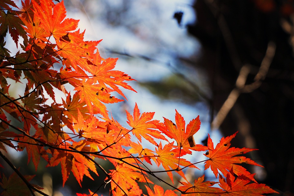 Leaves, Foliage, Maple, Tree, Red Leaves, Autumn, Fall