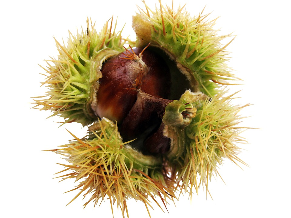 Maroni, Chestnut, Isolated, Autumn, Decoration