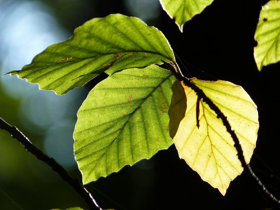 Beech, Leaves, Back Light, Autumn, Forest, Nature