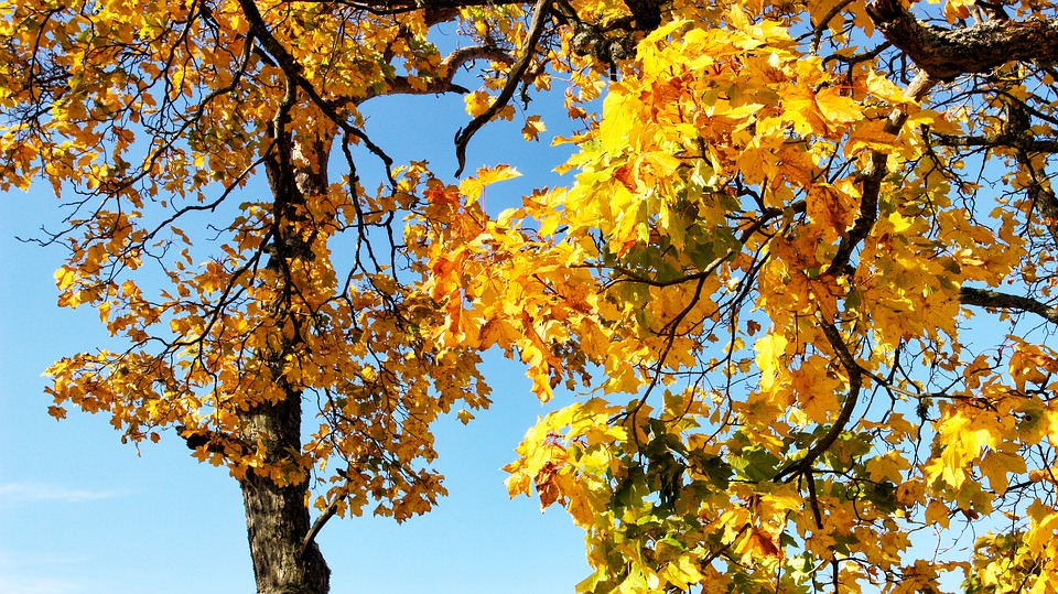 Fall, Tree, Yellow, Autumn, Nature, Landscape, Forest