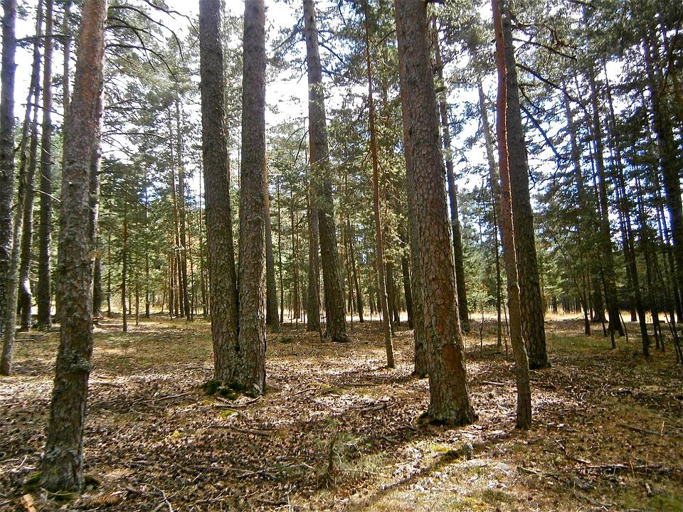 Landscape, Forest, Pine, Tree, Autumn, Nature