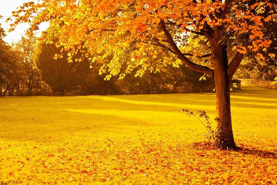 Autumn, Fall, Foliage, Golden, Leaf, Leaves, Nature