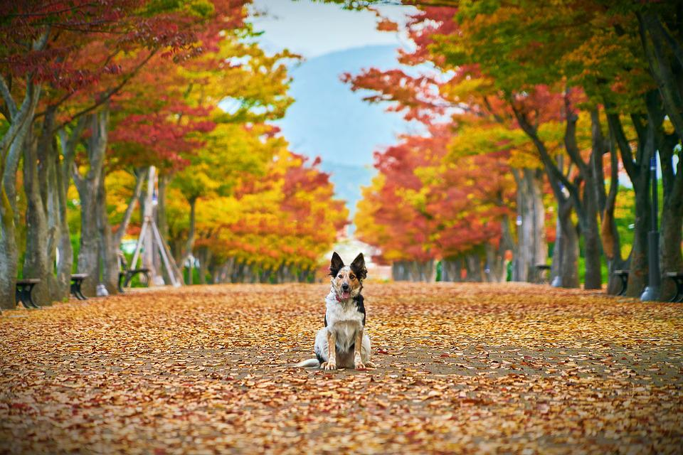 Autumn, Dog, Nature, The Leaves, Scenery, Landscape