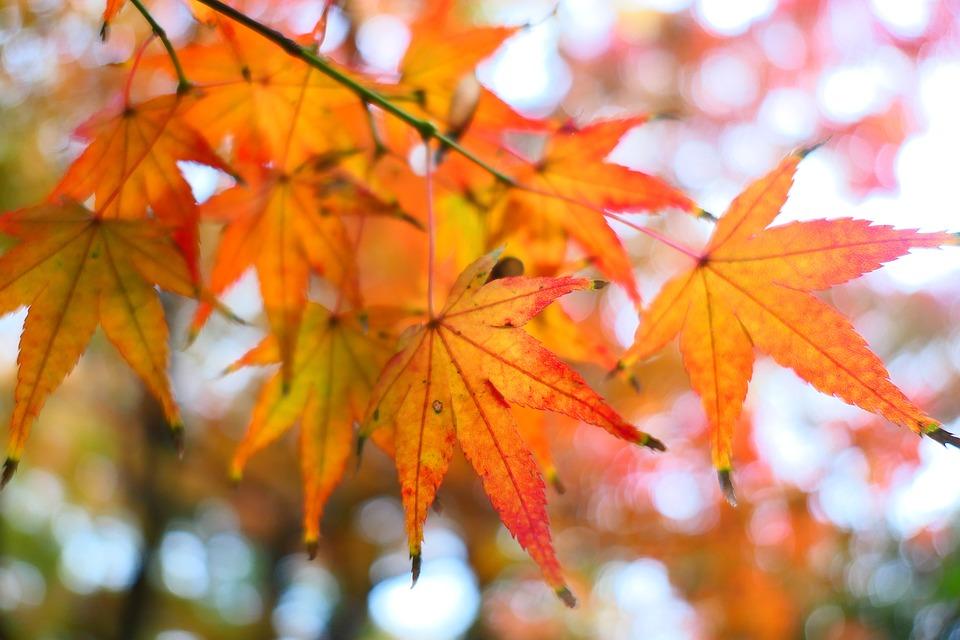 Maple, Orange, Fall, Autumn, November