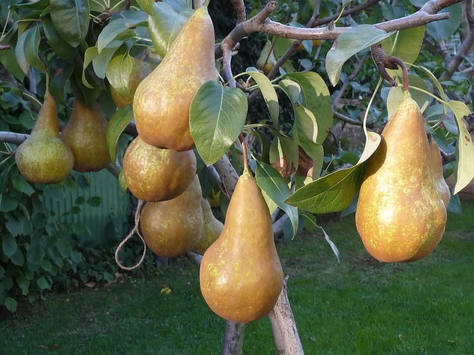 Pear, Wood, Autumn