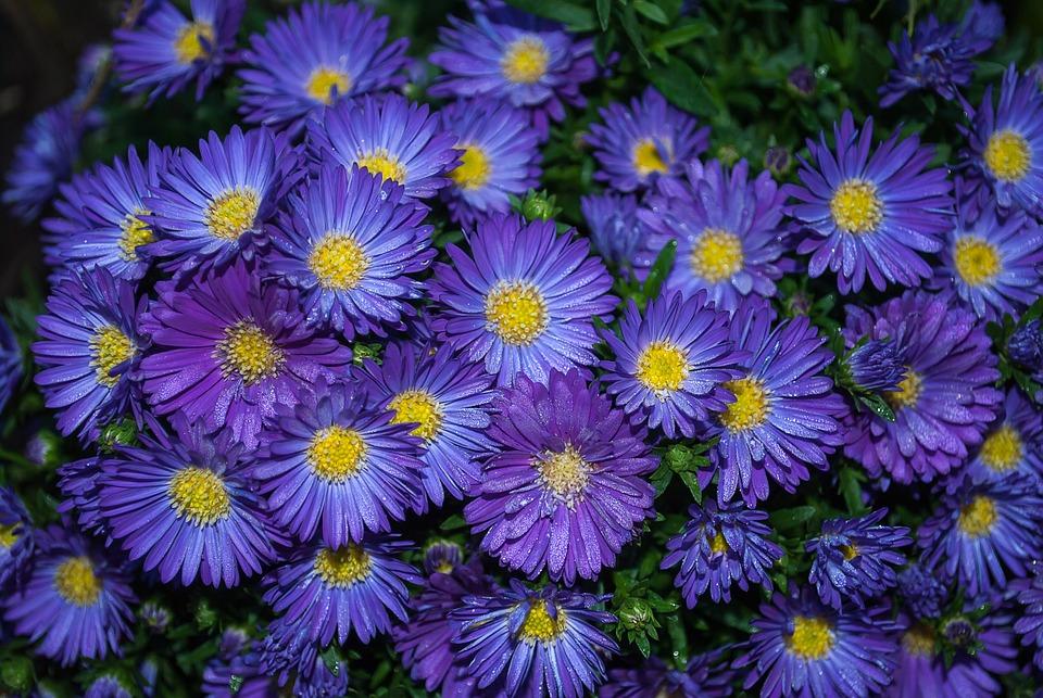 Free photo autumn perennial garden plant flowers asters max pixel asters plant garden flowers autumn perennial mightylinksfo