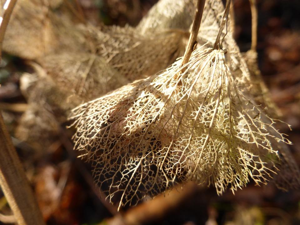 Hydrangea, Autumn, Perish, Grain, Nature, Generalized