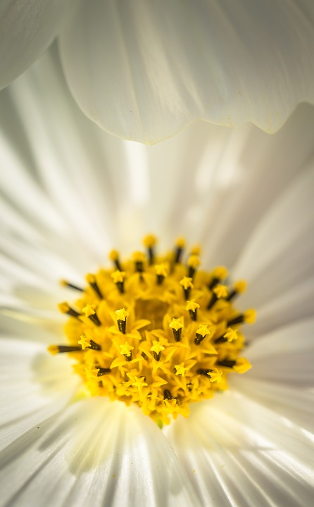 Cosmos, Autumn, Flowers, Petal, Plants, Nature, White