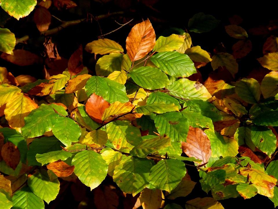 Nature, Autumn, Leaves, Forest, Golden Autumn, Plant