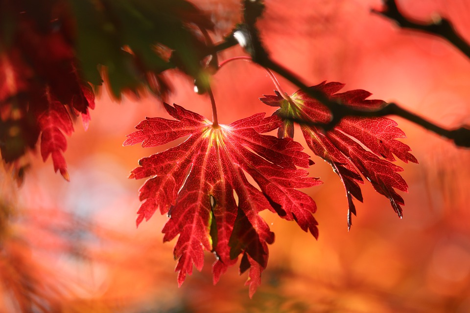 Leaves, Tree, Autumn, Fall, Foliage, Branch, Plant