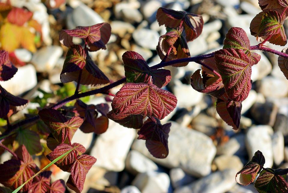 Purple Leaves Against Beach Rocks, Autumn, Purple