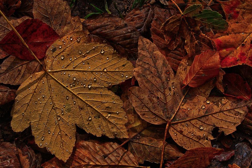 Maple Leaf, Autumn, Dewdrop, Raindrop, Morgentau, Wet