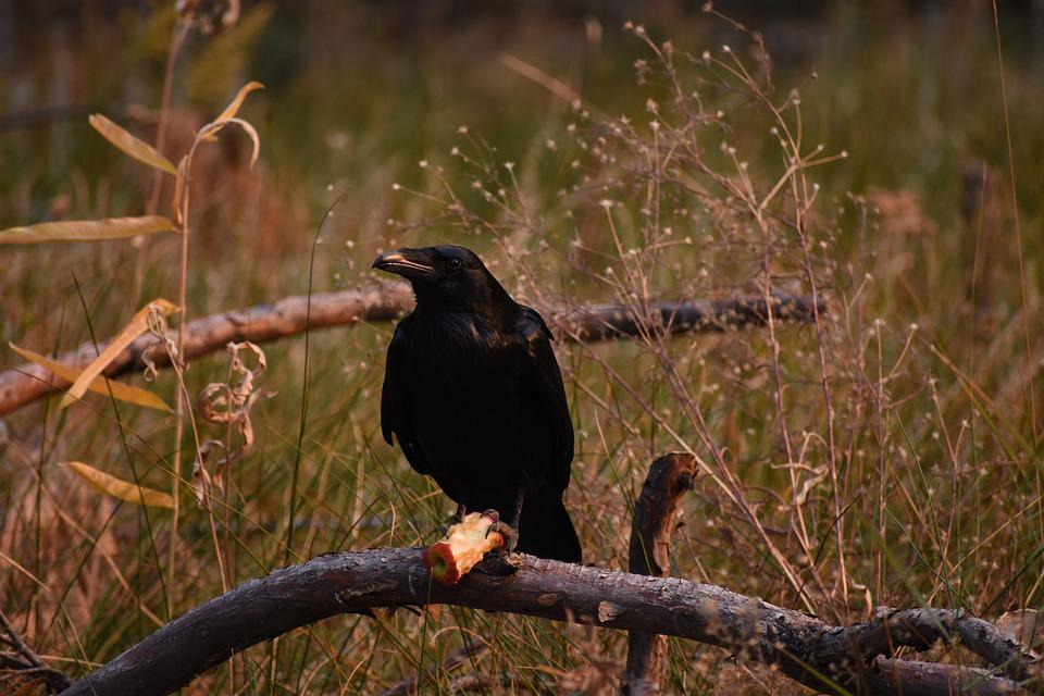 Raven, Apple, Nature, Forest, Fall, Autumn, California